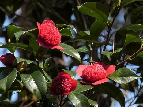 「きれぎれの風彩 森林公園:椿園-0228-3」