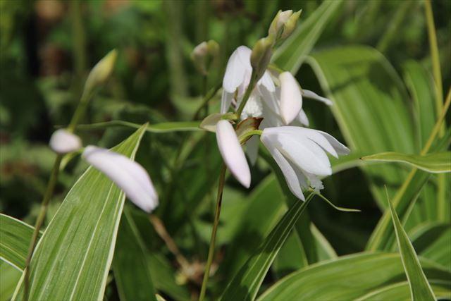 シラン白花
