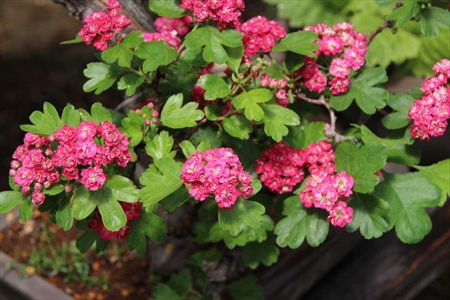紅花サンザシ1