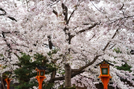2021_kyoto_sakura_4.jpg