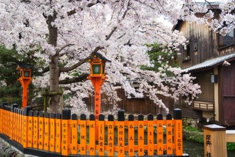 2021_kyoto_sakura_5.jpg
