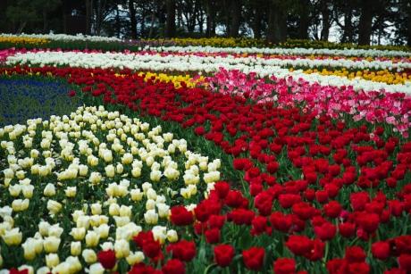 tulip_10.jpg
