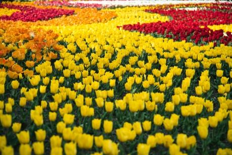 tulip_12.jpg