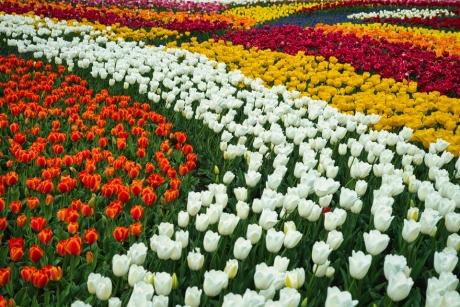 tulip_5.jpg