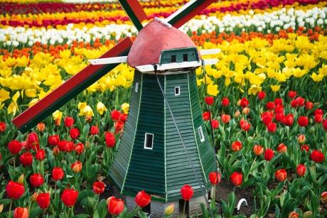 tulip_6.jpg