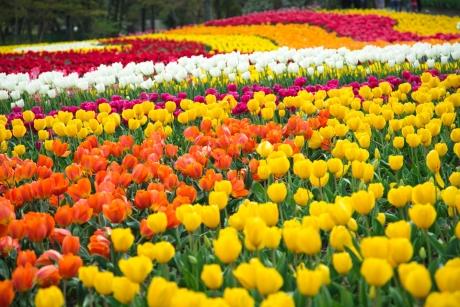 tulip_8.jpg