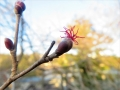 ツノハシバミ雌花