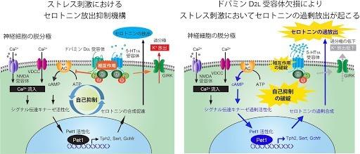 D2受容体 セロトニン1A (1)