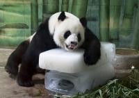 パンダ暑い
