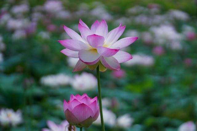210703蓮の花7
