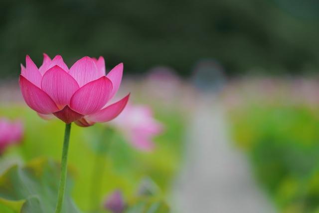 210703蓮の花12