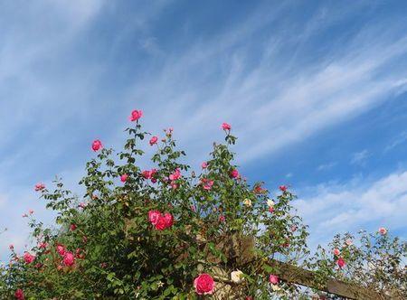 031パーゴラに薔薇