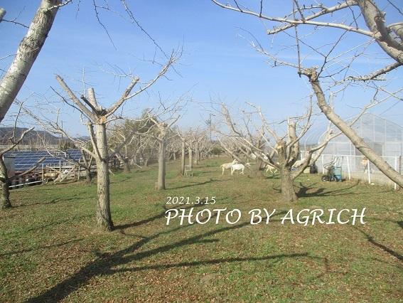 銀杏の木2021