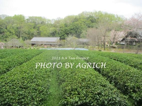 茶畑草刈り1