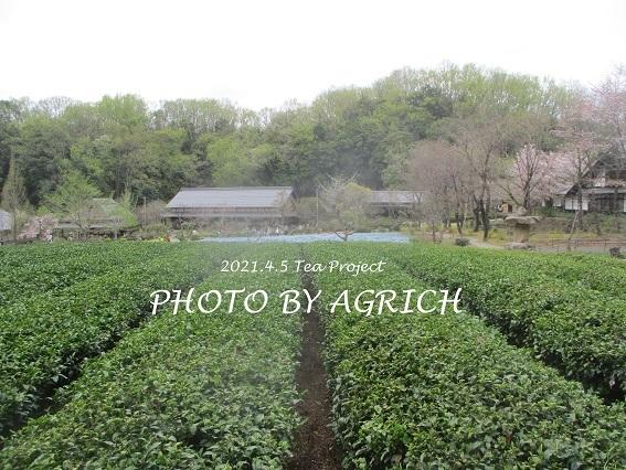 茶畑草刈り3