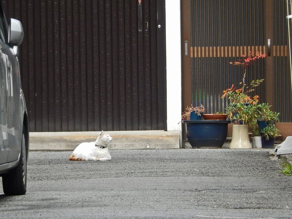 部分的な縞猫