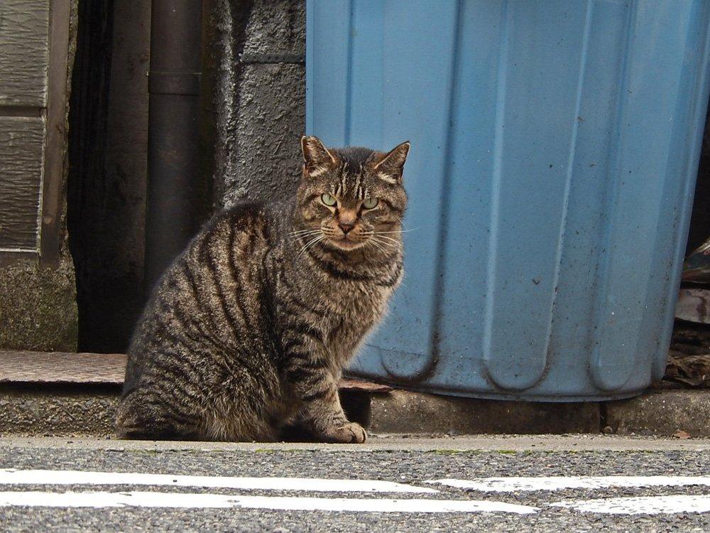眼光鋭い縞猫
