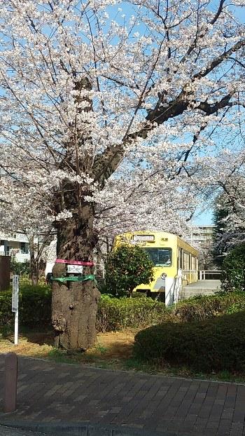 電車図書館の前の老桜