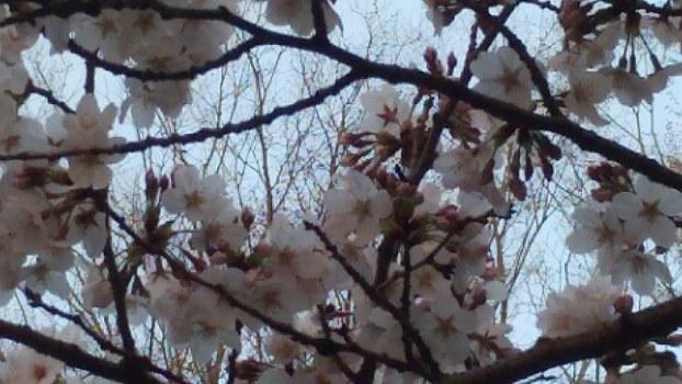 今年の桜2021