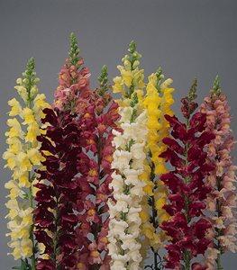deer-resistant-snapdragon-flowers-rocket-mix-kieft-seed_11987.jpg