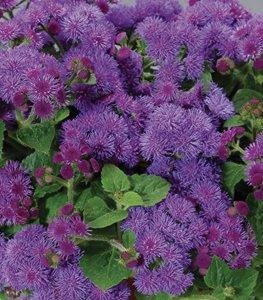 flossflower-artist-blue-proven-winners_13218.jpg
