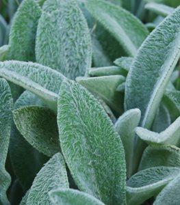 lambs-ear-plant-fuzzy-foliage-shutterstock-com_16166.jpg