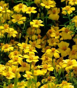 lemon-gem-marigold-deer-proof-marigold-alamy-stock-photo_11986.jpg