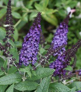 pugster-butterfly-bush-deer-resistant-plant-proven-winners_11970.jpg