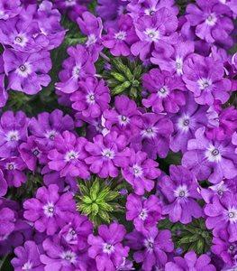 superbena-violet-ice-purple-verbena-proven-winners_13353.jpg