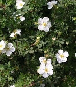 white-cinquefoil-happy-face-potentilla-fruticosa-proven-winners_13210.jpg