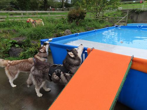 ワフでプール遊び