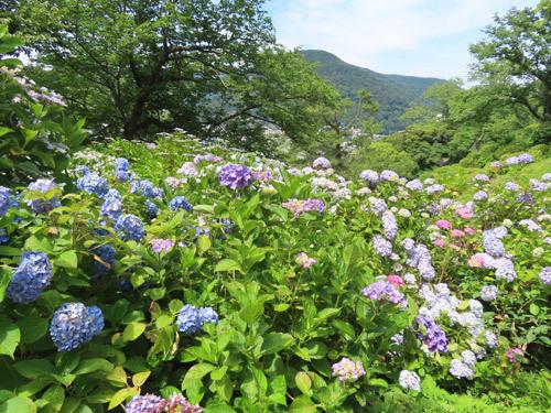 下田公園のアジサイ