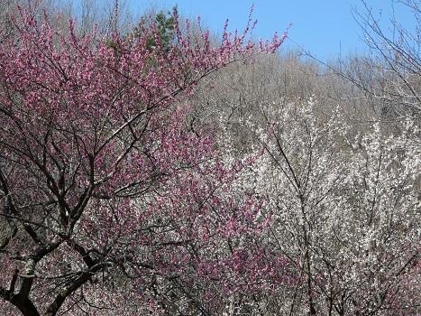 きれぎれの風彩 森林公園:梅林-0228_210310-01