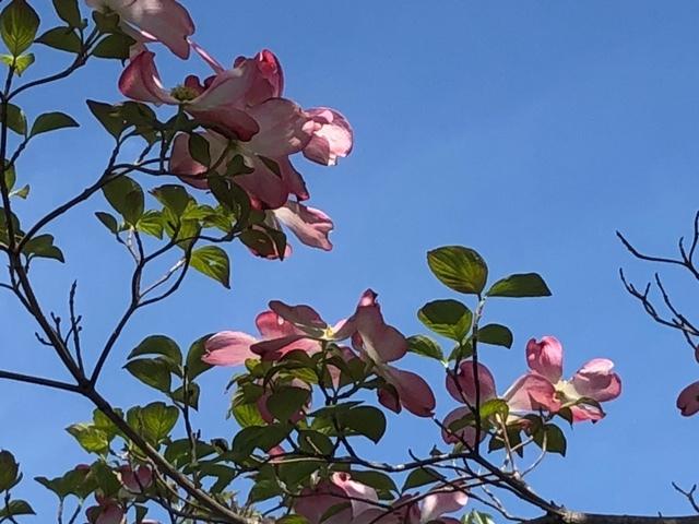 花水木ピンク1