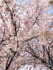 2021年4月桜