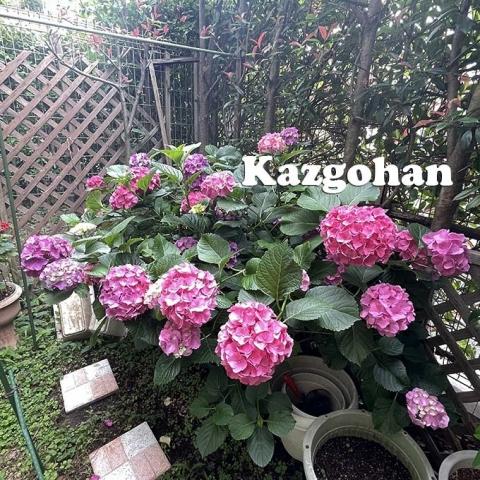 20210621_ajisai_02.jpg