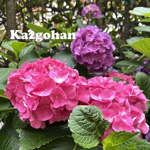 20210621_ajisai_03.jpg