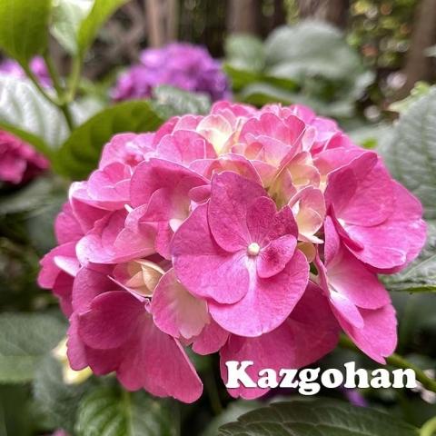 20210621_ajisai_04.jpg