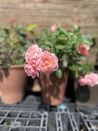 挿し木にした春ちゃんのバラ