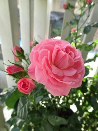 ベランダの春ちゃんのバラ