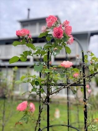 よく咲く桜霞