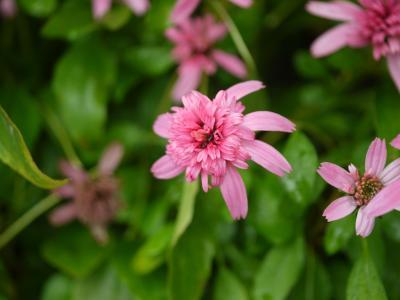 Echinacea purpurea Pink Double Delight