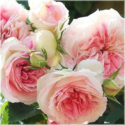 バラ アミロマンチカ1