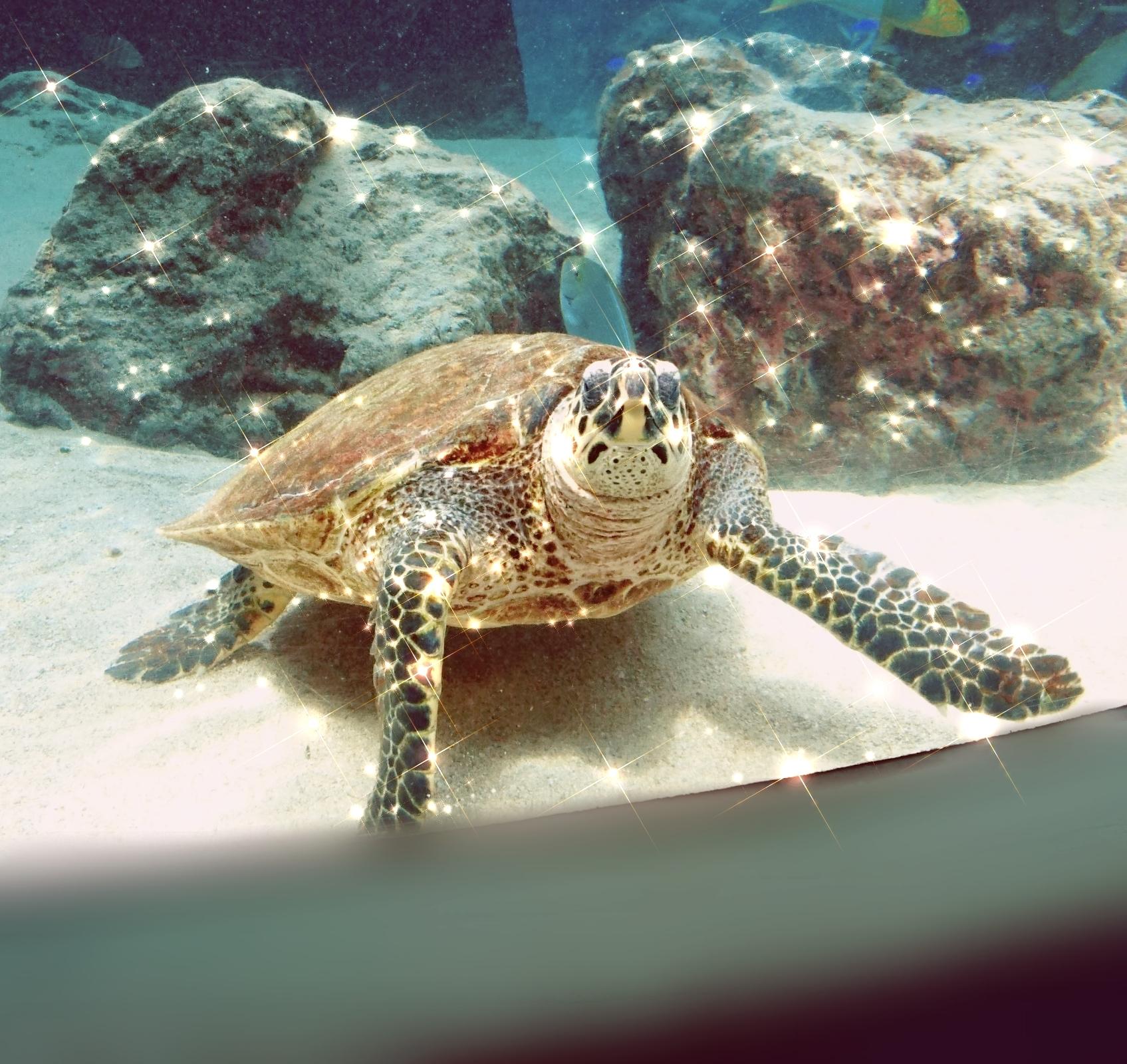 美ら海水族館の亀さん
