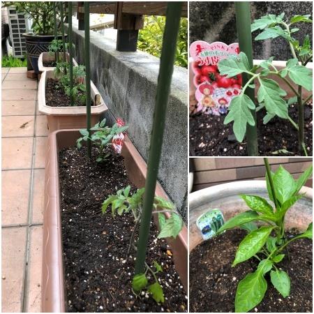 2021-4-16 トマト植える1