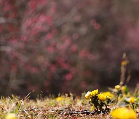 フクジュソウと梅の花