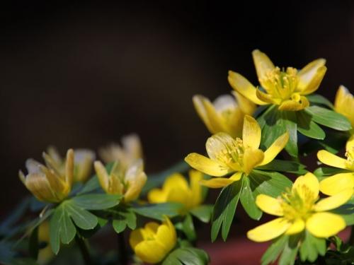 黄色セツブンソウ