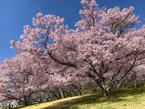 高遠城址公園入口の桜