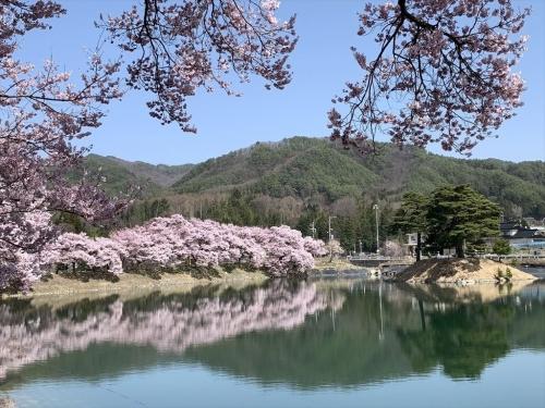 水面の桜が綺麗 鵜もいました