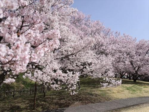 満開の桜2021
